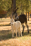 Jackass family with baby white burro in a field with trees in The South