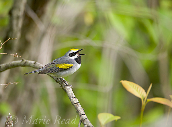 Golden-winged Warbler (Vermivora chrysoptera), male in breeding plumage, singing, Hermon County, New York, USA