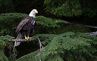 A Bald Eagle perches amidst the greenery of the Great Bear Rainforest.