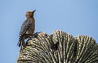 A female Gila Woodpecker, Melanerpes uropygialis, perches on a cristate (crested) Saguaro cactus, Carnegiea gigantea, in the Desert Botanical Garden, Phoenix, Arizona