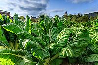 France, Sarthe (72), Le Lude, château et jardins du Lude, le potager, bettes
