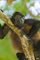 Mantled Howler monkey, Tortuguero, Costa Rica, Central America.
