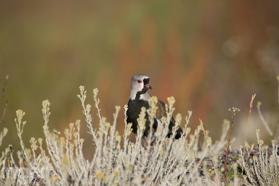Southern Lapwing in native flowers at El Calafate, Argentina