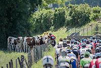 local spectators mooing the peloton on<br /> <br /> Stage 6: Le parc des oiseaux/Villars-Les-Dombes &rsaquo; La Motte-Servolex (147km)<br /> 69th Crit&eacute;rium du Dauphin&eacute; 2017