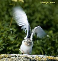 MC68-002z  Arctic Tern - young flying - Machias Seal Island, Bay of Fundy - Sterna paradisaea.