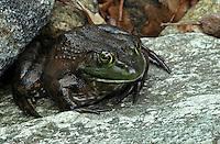 American Bullfrog - Rana catesbeiana