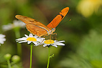 Julia Butterfly (Dryas julia) sipping nectar from a Daisy in southern Arizona, USA.