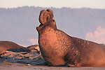 FB-S176  Northern Elephant Seal 4x6 postcard