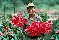 Anthurium Grower, Hawaii, The Big Island. Anthurium Grower. Hawaii USA greenhouse.