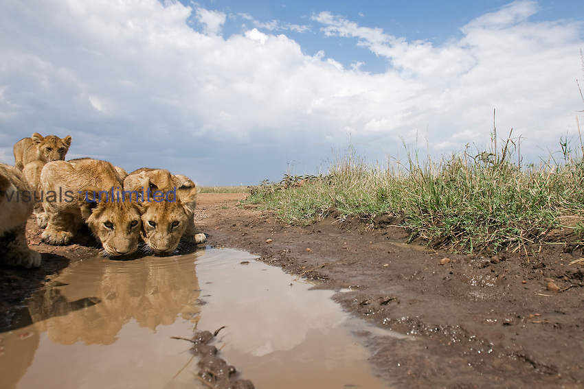 African Lion cubs drinking from a puddle (Panthera leo), Masai Mara, Kenya.