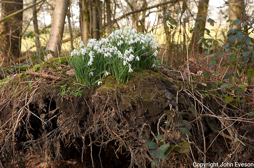 Snowdrops in a wood, Chipping, Lancashire.