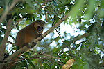 Golden Bamboo Lemur, Hapalemur aureus, Critically endangered, Ranomafana National Park, Madagascar,  IUCN Red List, and Appendix I of CITES