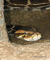 0421-1101  Indian Python (Burmese Python, Black-tailed Python, Indian Rock Python), Detail of Head, Python molurus  © David Kuhn/Dwight Kuhn Photography