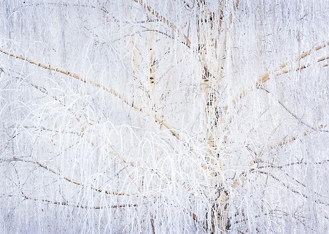 Frosted Winter Birch Tree Portrait