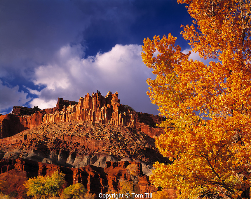 Autumn Cottonwoods at the Castle, Capitol Reef National Park, Utah    Populus fremontii