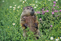 Woodchuck  or groundhog (Marmota monax) in meadow.  Minnesota, summer.
