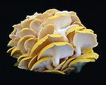 A closeup of a beautiful cluster of yellow oyster mushrooms showing their detailed white undersides on a black background. Mushrooms found at a farmer's market in Troy, New York.