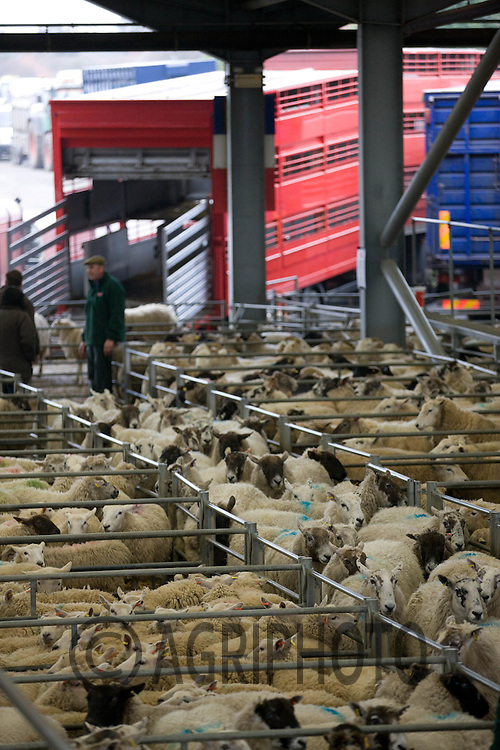 Cull Ewes in Melton Mowbray Livestock Market.Picture by Tim Scrivener date taken 14th March 2012.mobile 07850 303986 e-mail tim@agriphoto.com.....covering agriculture in The United Kingdom....