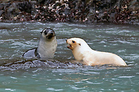 Antarctic fur seal, Arctocephalus gazella, aka Kerguelen fur seal, rare, leucistic pup, playing along with normally dark-colored pup, South Georgia, Atlantic Ocean