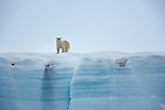 Polar Bear (Ursus maritimus), Svalbard, Norway<br />