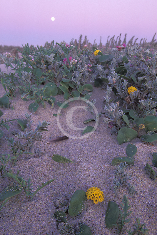 California, Moss Landing, Salinas River State Park, Moon and dune flowers