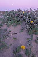 California, Moss Landing, Salinas River State Park, Moon and dune flowers
