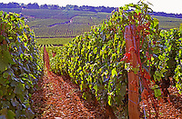 Vines in the famous Grand Cru Romanee Conti vineyard, Vosne, Bourgogne