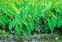 Taro plants in loi pond at hanalei natural wildlife preserve, Kauai