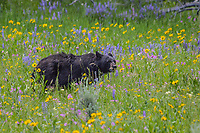A Black Bear in Hayden Valley, Yellowstone National Park, pauses for a moment to both smell and eat the wildflowers.