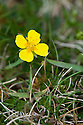 Tormentil (Potentilla erecta), late April. Flowers have four petals and four sepals.