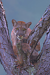 Florida Panther, Big Cypress Swamp, Florida