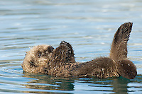 Sea Otter (Enhydra lutris) pup learning to use its legs, feet and flippers--kind of learning some coordination.  Within a few days it will be learning to hold food with its front paws (drops alot at first) and to swim about (now it mostly floats on back).  Note: the white reflecting in the water is snow on the far mountainsides.