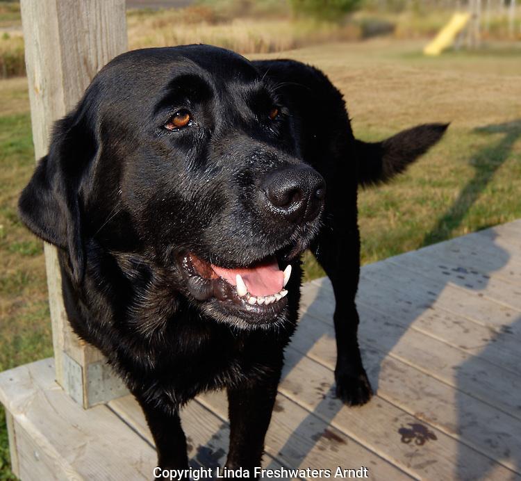 Black Labrador retriever (AKC) standing on a porch in Winter, WI.