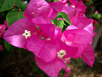 Pretty beautiful hot pink bougainvillaea petals