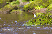 White-throated Dipper (Cinclus cinclus) having a look around before committing to a dive underwater. Dippers have a remarkable way to catch food in a niche area. They are able to dive under water readily at will and walk along the bottom in search of caddis fly larva and other food.