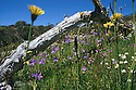 Royal Bluebells and daisies in summer. Alpine meadow in Brindabella Range. ACT/NSW border.