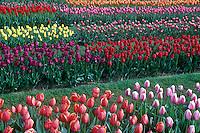 Tulip farm.