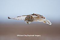 01113-012.14 Short-eared Owl (Asio flammeus) in flight at Prairie Ridge State Natural Area, Marion Co., IL