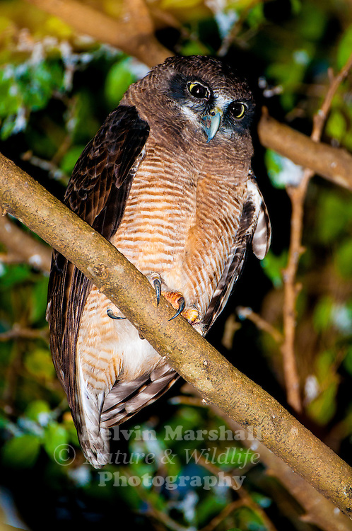 Rufous owl (Ninox rufa), also known as the rufous boobook, is a species of owl in the Strigidae family. It is Australia's only exclusively tropical owl; it also occurs in Indonesia and Papua New Guinea. It is considered uncommon to rare across northern Australia including Arnhemland, the northern Kimberley and eastern Cape York Peninsula. There are three subspecies recognised – subspecies rufa in the northern Kimberley and Top End, subspecies meesi across the top of Cape York Peninsula and subspecies queenslandica from Cooktown south to Mackay.This beautiful Owl was photographed on the Cairns Esplanade.