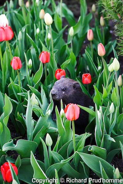 Ottwa's famous black groundhog sitting in a tulip bed on Parliament hill