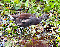 Juvenile common gallinule