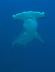 Hammer Head shark swimming darwins Arch Galapagos islands Ecuador.