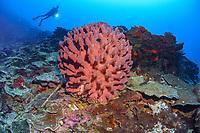 Diver and barrel sponge, Xestospongia testudinaria, Madang, Papua New Guinea, Pacific Ocean (MR), MR
