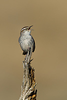 598030024 a wild bewick's wren thryomanes bewickii sings or vocalizes while perched on a twig in kern county california united states