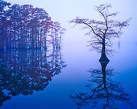 Bald Cypress in Fog, Reelfoot Lake National Wildlife Refuge, near Mississippi River, Tennessee