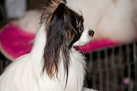 Papillion sitting on the grooming table at the International dog show in Prague, Europe - May 2014. Papillion colors white body,brown and black face markings