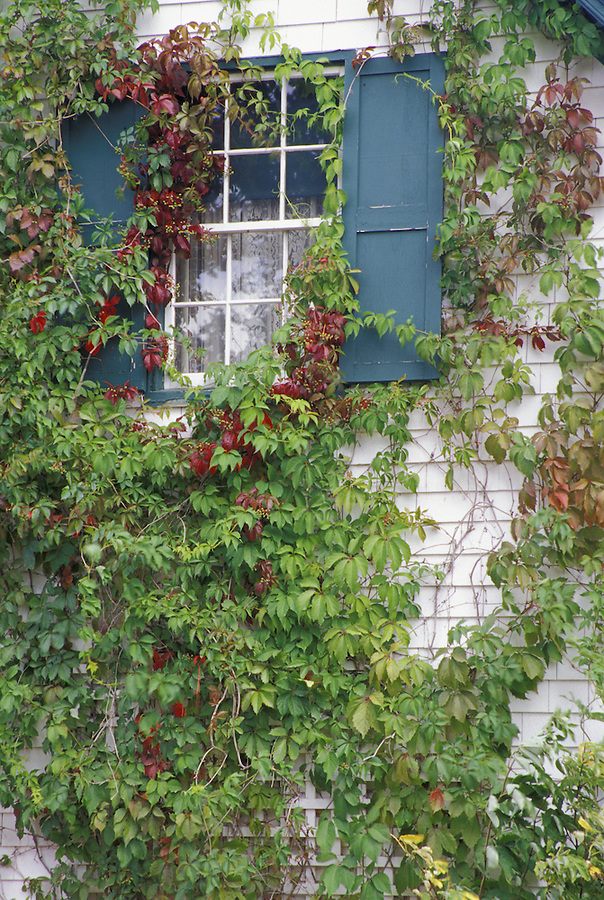 Window with ivy, Green Gables House, Cavendish, Prince Edward Island National Park of Canada, PEI, Canada