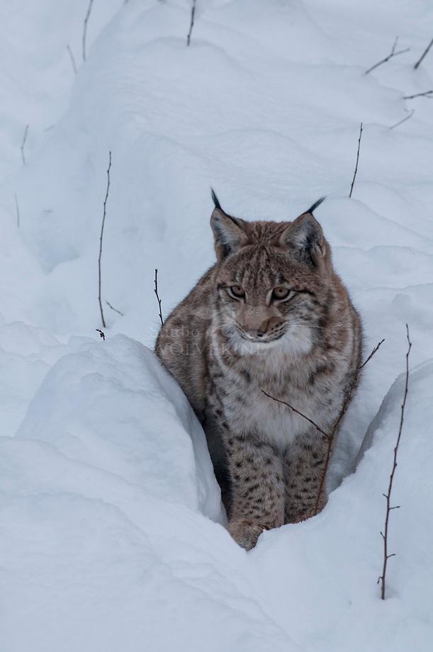 Lynx (Lynx lynx) in sneeuw