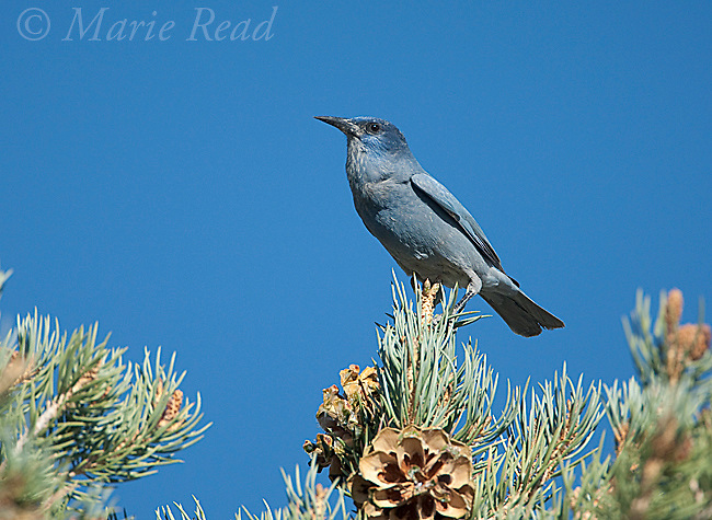 Pinyon jay (Gymnorhinus cyanocephalus), perched on Pinyon PIne with cones, Mono Lake Basin, California, USA