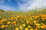 Escondido, California; a field of California Poppies  and yellow mustard flowers on a hillside on a sunny afternoon
